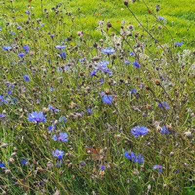 Grove Field Wildflowers